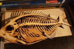 Vis uit 8mm dik berken mpx